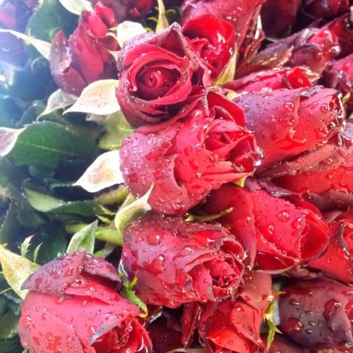 Hoa hồng đỏ nhung Đà Lạt